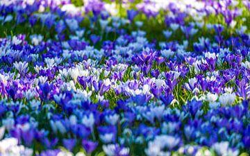 Frühjahrsblüte von Julius Pot
