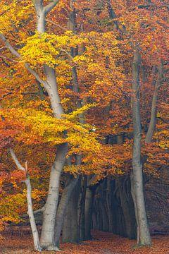 Funkelnde Herbstfarben im Buchenwald, Utrechtse Heuvelrug, Niederlande von Sjaak den Breeje