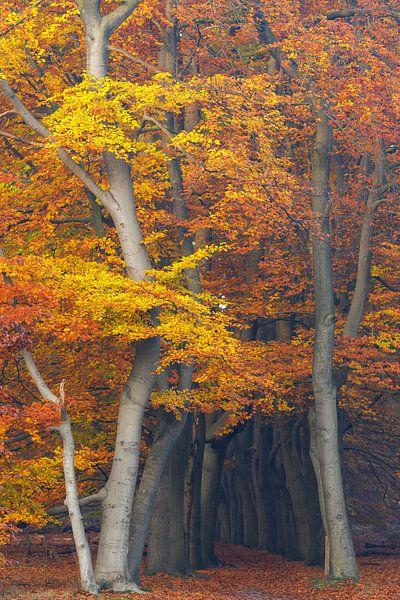 Sprankelende herfstkleuren in het beukenbos, Utrechtse Heuvelrug, Nederland van Sjaak den Breeje