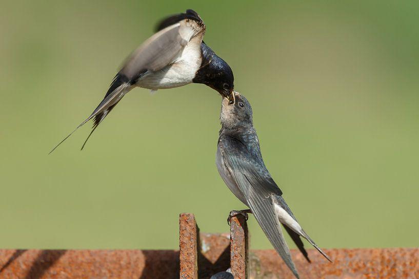 The barn swallow (Hirundo rustica) von Menno Schaefer
