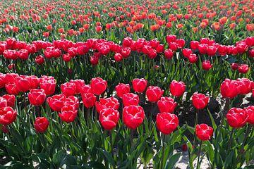 rode tulpen op een rij van Angelique Rademakers