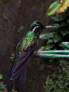 Kolibrie 2 von Joelle van Buren