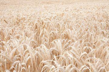 Champ de céréales sur Els Broers