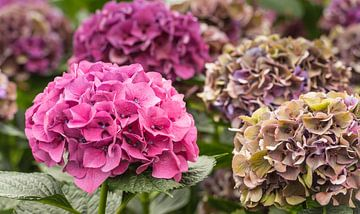 Kleurige Hortensia bloemen bij een Hortensiakwekerij van Ruud Morijn