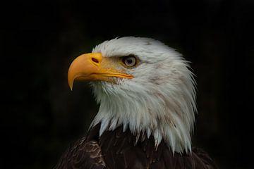 Bald Eagle, Amerikaanse Zeearend. Een portret van Gert Hilbink