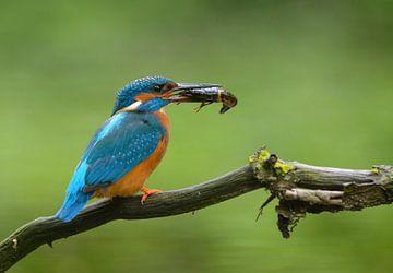 IJsvogel met gevangen rivierkreeft! von Remco Van Daalen