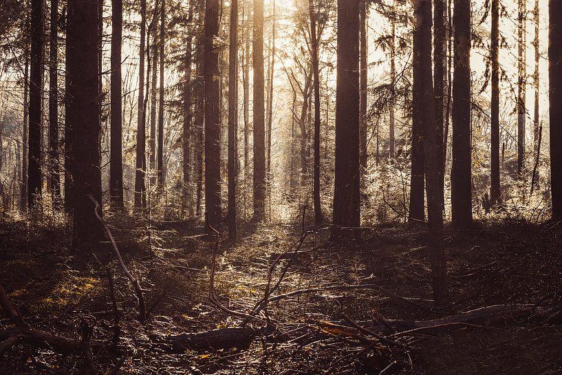Zonnestralen Die Zich Een Weg Banen Door Het Woud Van Edzard Boonen