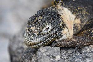 Galápagoslandleguaan (Conolophus subcristatus) von