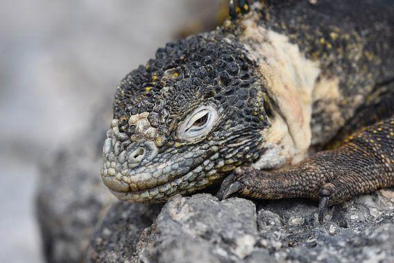 Galápagoslandleguaan (Conolophus subcristatus) van Frank Heinen