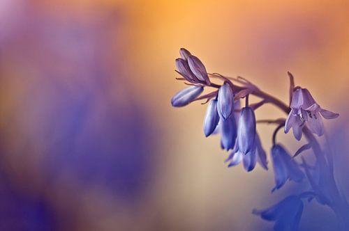 Boshyacinten bij zonsopkomst van Ellen Driesse