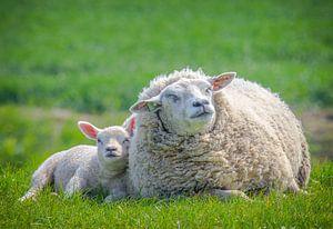 Lente, schapen in de wei! Moeder schaap met lammetje. van