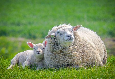 Lente, schapen in de wei! Moeder schaap met lammetje.