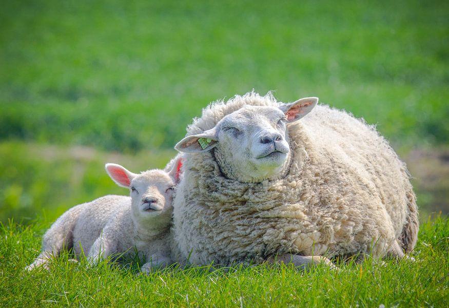 Lente, schapen in de wei! Moeder schaap met lammetje  van Mich u00e8le Huge