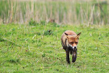 jagende vos von kim van Bockhove