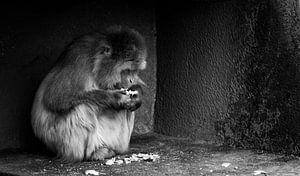 Japanse makaak van