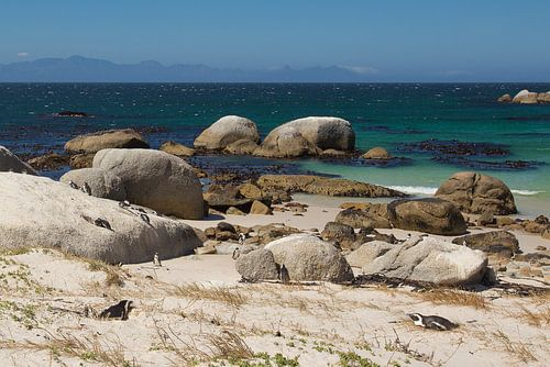 Boulders Pinguins in Zuid Afrika