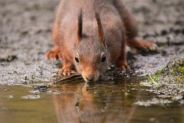 Dorstige eekhoorn van Yente De Maesschalck