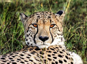 Cheetah in Namibië sur Jan van Reij