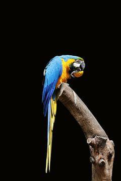 parrot van