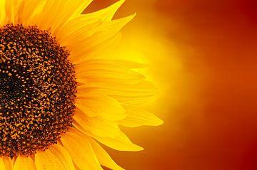 Vurige zonnebloem van Dennis Carette