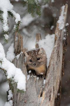 De dennenmarter ( Martes americana ) kijkt in de winter uit een holle boom, Montana, USA. van wunderbare Erde