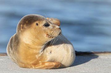 zeehond von Benno van Triest