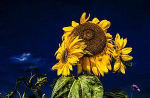 Zonnebloemen en een donkerblauwe lucht