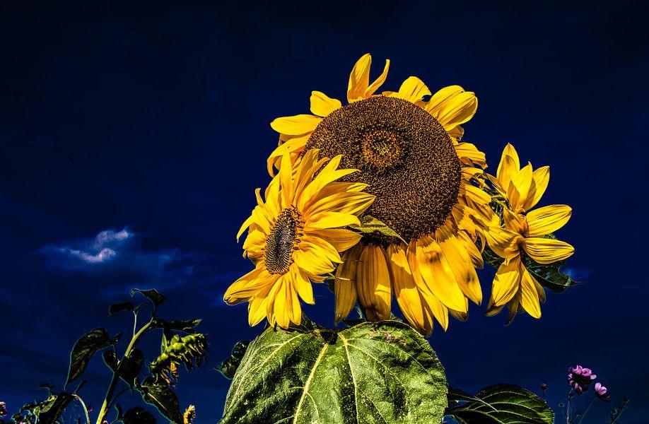 Zonnebloemen en een donkerblauwe lucht van Harrie Muis
