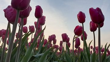 Roze tulpen met tegenlicht... van Ton van Waard - Pro-Moois
