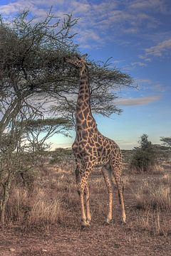 Giraffe van BL Photography