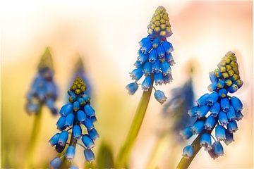 Blauwe druifjes van Bertram Bergink
