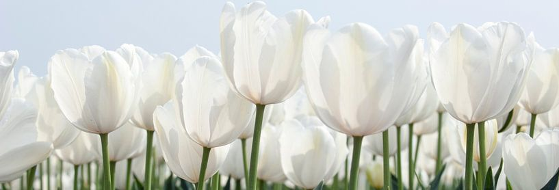 Witte tulpen sur Franke de Jong