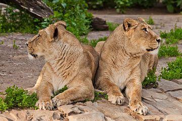 twee leeuwinnen kijken in verschillende richtingen, de ruzie van vriendinnen. Twee leeuwenvriendinne van Michael Semenov