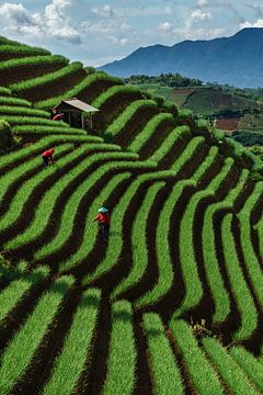 Producteurs d'oignons dans les champs d'Argapura, Java Ouest sur Anges van der Logt