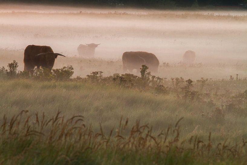 Schotse Hooglanders in de mist van Menno van Duijn