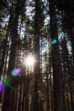 Zonnestralen en dennenbomen van Ginkgo Fotografie