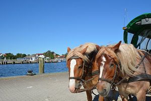 Pferde in Vitte auf der Insel Hiddensee