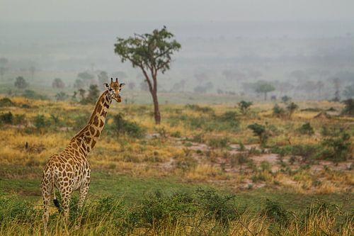 Giraffe op de savanne