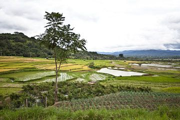 Reisfeld auf Sumatra von Kees van Dun