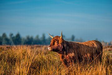 Le Highlander écossais surplombe la réserve naturelle sur Bas Fransen