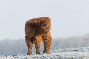 Kalf in wintersetting