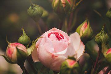 élégante rose du jardin sur