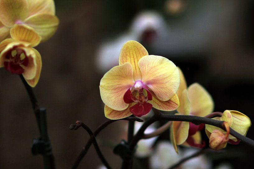 The Yellow Orchidee van Cornelis (Cees) Cornelissen