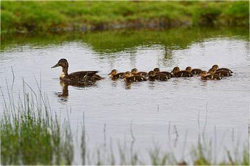 Moeder eend met kuikens zwemmend in het water van Hans Oudshoorn