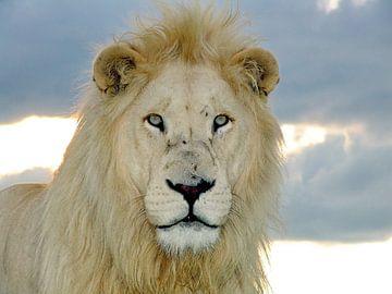 Hypnose  Löwen  Portrait von Barbara Fraatz