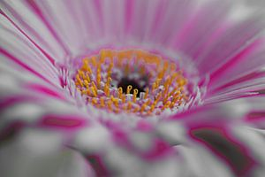 Gerbera wit-roze