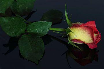 Rose von Riegler klaus