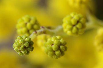 Mimosa, macrofotografie