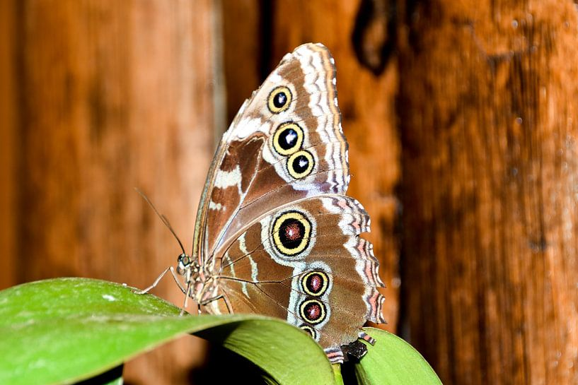 Schmetterling Ecuador von Hermineke Pijls