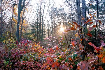 Nebliger Herbstwald am frühen Morgen bei Sonnenaufgang, Zeist, Utrechtse Heuvelrug, Herbst von John Ozguc